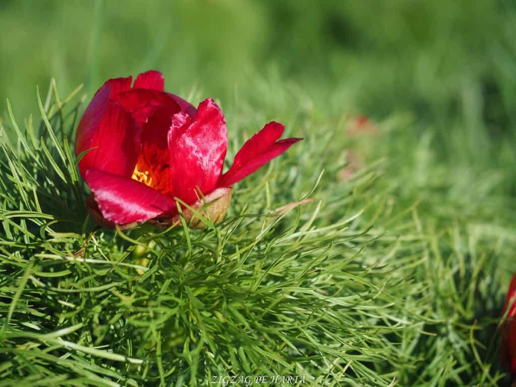 Bujorul de stepă de la Zau de Câmpie - Blog de calatorii - ZIGZAG PE HARTĂ - ADL40787