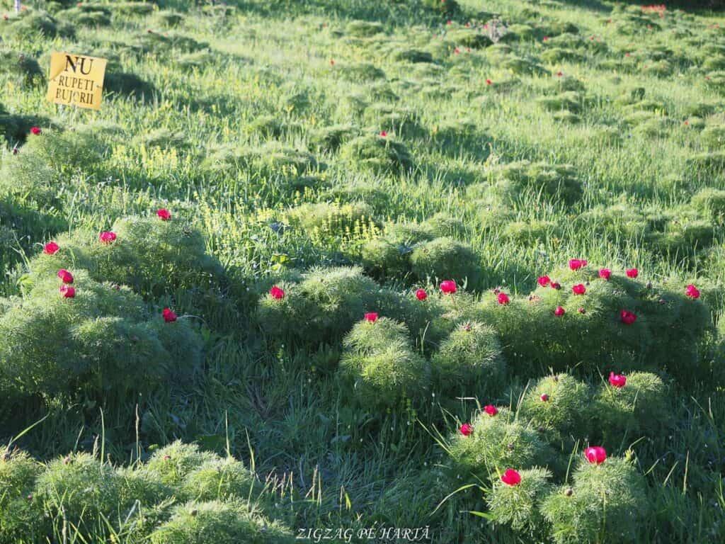 Bujorul de stepă de la Zau de Câmpie - Blog de calatorii - ZIGZAG PE HARTĂ - ADL40887