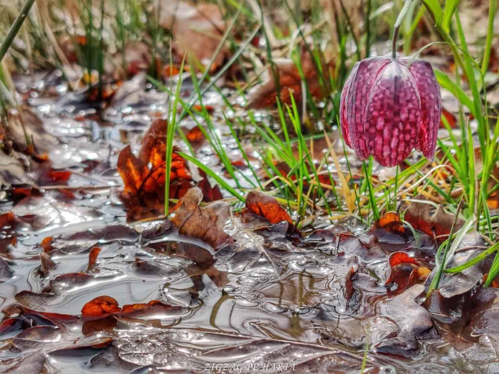 Laleaua pestriță din Orheiul Bistriței - Blog de calatorii - ZIGZAG PE HARTĂ - IMG 20210417 160537 01