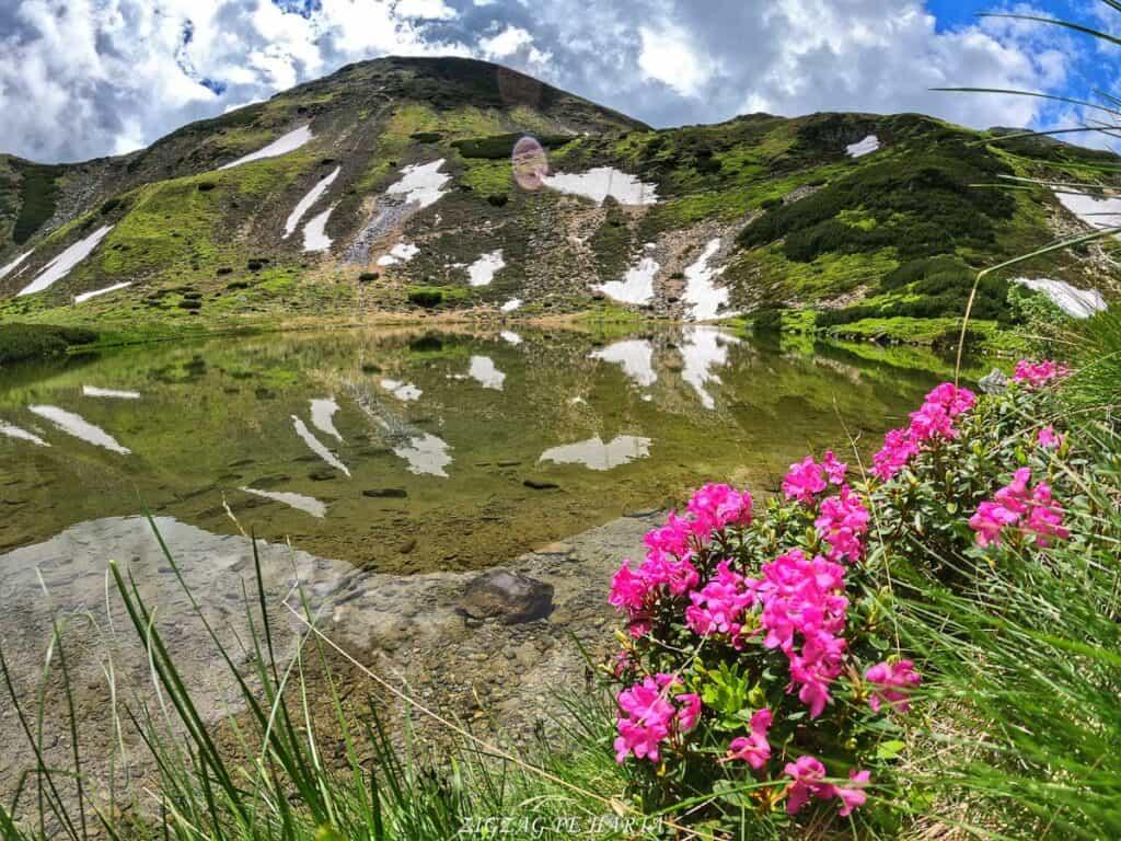 Rododendroni în Munții Rodnei - Blog de calatorii - ZIGZAG PE HARTĂ - GOPR0367 1624724028831 01