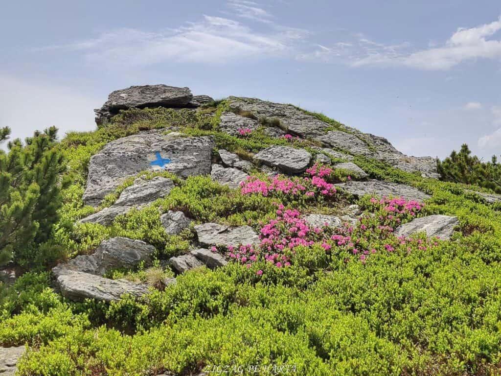 Rododendroni în Munții Rodnei - Blog de calatorii - ZIGZAG PE HARTĂ - IMG 20210703 WA0008 01