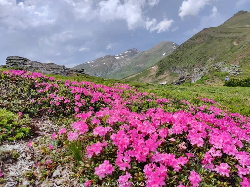 Rododendroni în Munții Rodnei - Blog de calatorii - ZIGZAG PE HARTĂ - IMG 20210703 WA0014 01