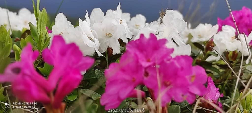 Rododendroni în Munții Rodnei - Blog de calatorii - ZIGZAG PE HARTĂ - IMG 20210703 WA0033 01 1