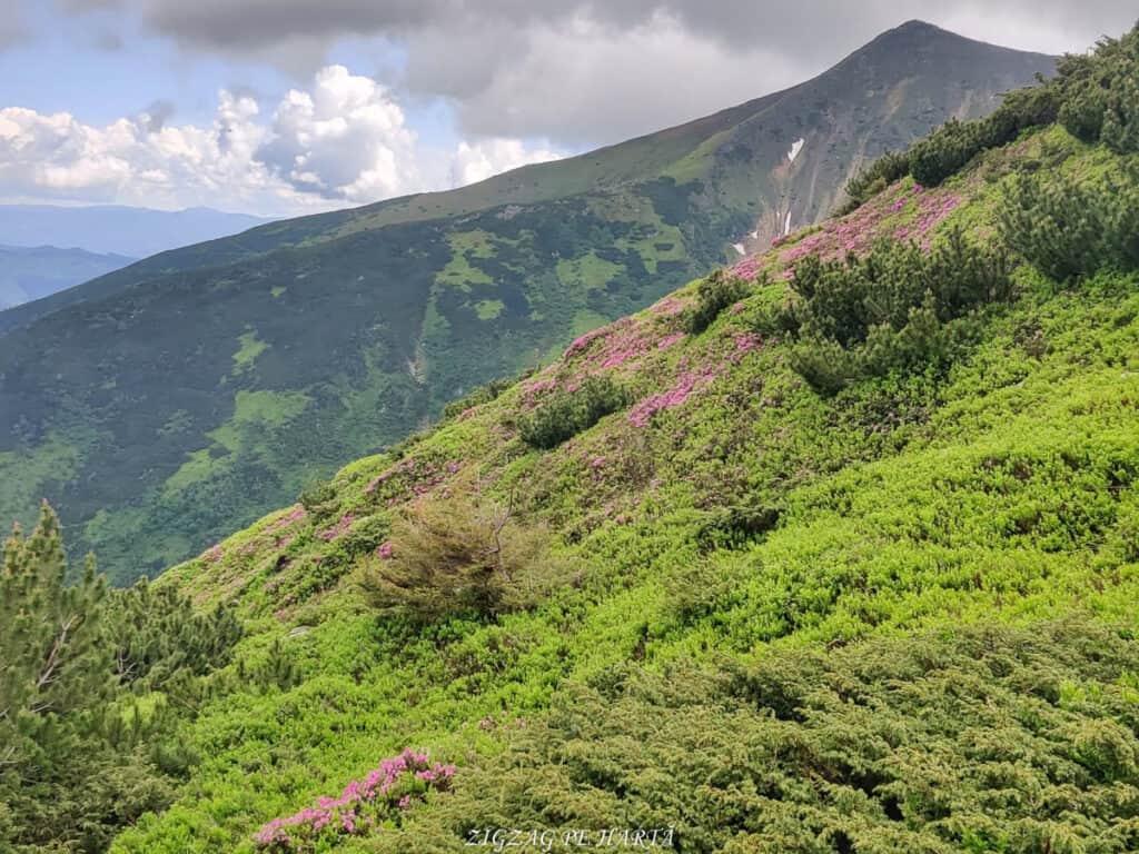 Rododendroni în Munții Rodnei - Blog de calatorii - ZIGZAG PE HARTĂ - IMG 20210703 WA0036 01