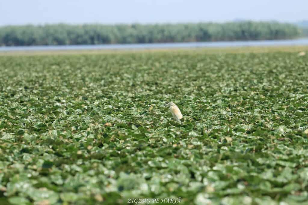 Delta Dunării – plimbare cu barca pe Brațul Sfântul Gheorghe - Blog de calatorii - ZIGZAG PE HARTĂ - IMG 4684